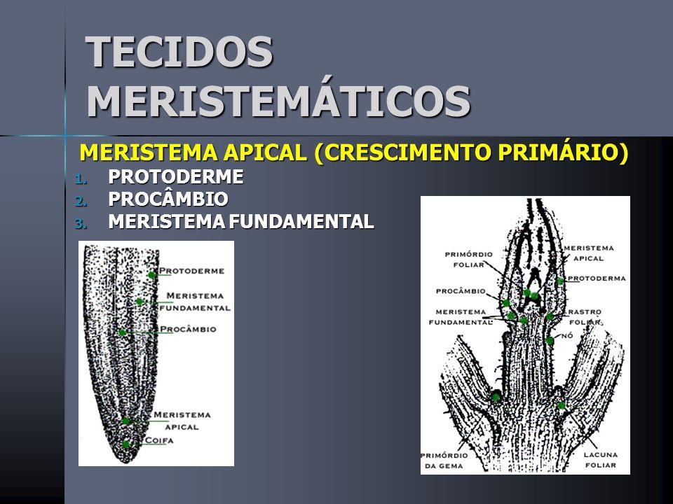 TECIDOS MERISTEMÁTICOS MERISTEMA APICAL (CRESCIMENTO PRIMÁRIO) MERISTEMA APICAL (CRESCIMENTO PRIMÁRIO) 1.