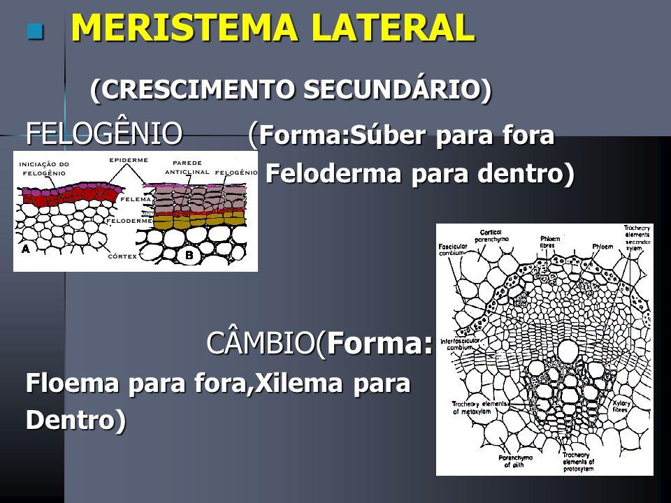 FLOEMA Conduz Seiva Elaborada Células vivas Mais Externo Células crivadas e elementos crivados