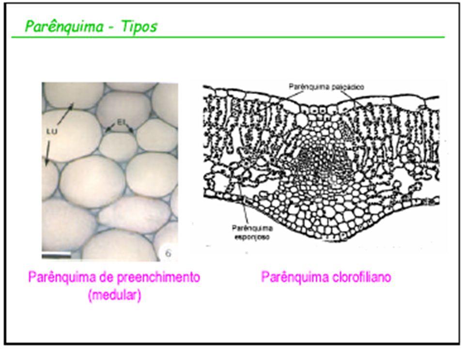 Tipos de Raízes Subterrâneas ou Terrestres Raízes que se fixam no solo e se desenvolvem TIPOS AXIAL OU PIVOTANTE (COM EIXO CENTRAL) FASCICULADA (SEM EIXO CENTRAL)