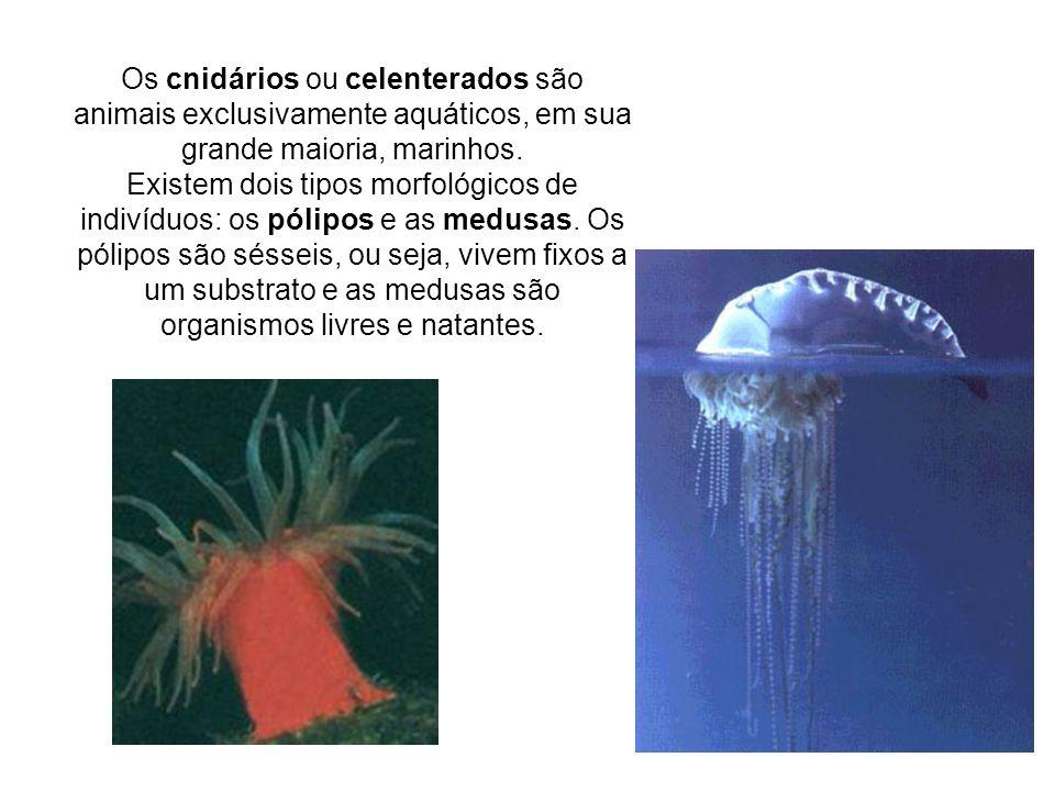 Os cnidários ou celenterados são animais exclusivamente aquáticos, em sua grande maioria, marinhos.