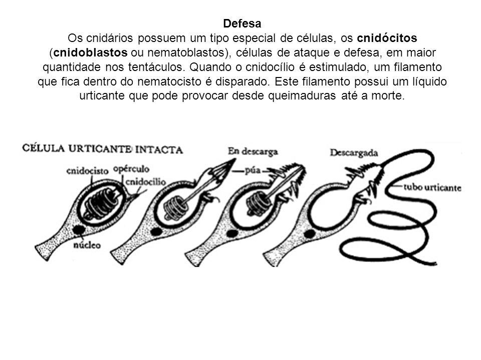 Defesa Os cnidários possuem um tipo especial de células, os cnidócitos (cnidoblastos ou nematoblastos), células de ataque e defesa, em maior quantidade nos tentáculos.
