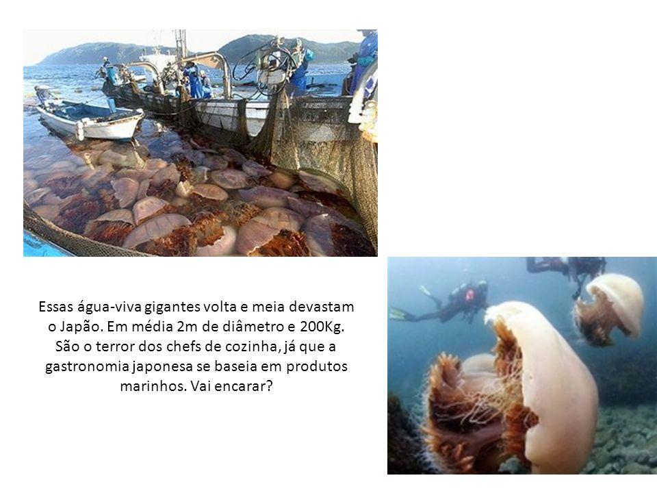 Essas água-viva gigantes volta e meia devastam o Japão.