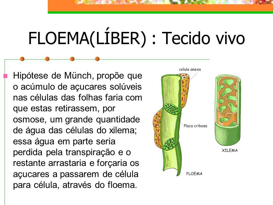 FLOEMA(LÍBER) : Tecido vivo Hipótese de Münch, propõe que o acúmulo de açucares solúveis nas células das folhas faria com que estas retirassem, por osmose, um grande quantidade de água das células do xilema; essa água em parte seria perdida pela transpiração e o restante arrastaria e forçaria os açucares a passarem de célula para célula, através do floema.