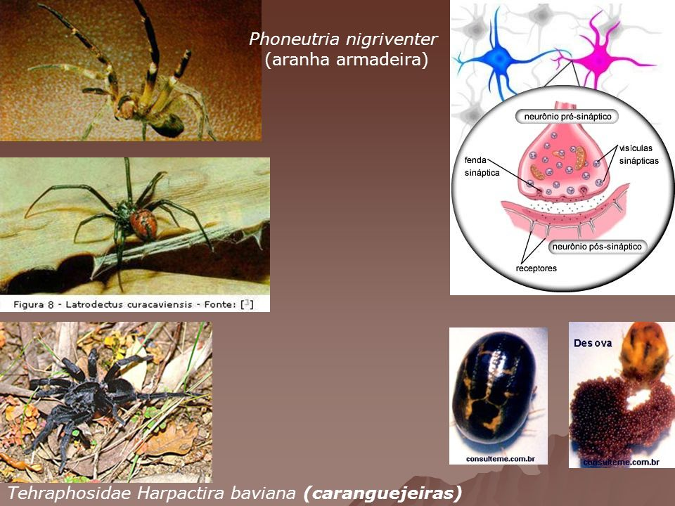 Phoneutria nigriventer (aranha armadeira) Tehraphosidae Harpactira baviana (caranguejeiras)