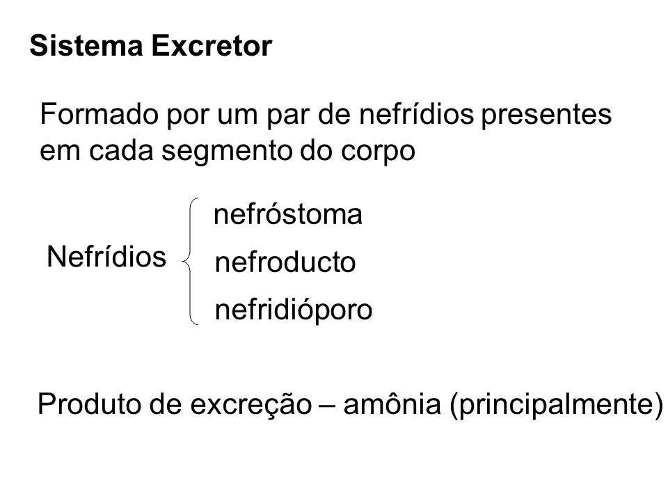 Sistema Excretor Formado por um par de nefrídios presentes em cada segmento do corpo Nefrídios nefróstoma nefroducto nefridióporo Produto de excreção