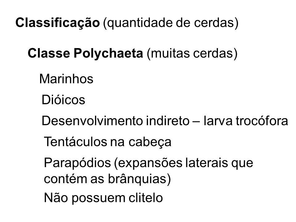 Classificação (quantidade de cerdas) Classe Polychaeta (muitas cerdas) Marinhos Dióicos Desenvolvimento indireto – larva trocófora Tentáculos na cabeç