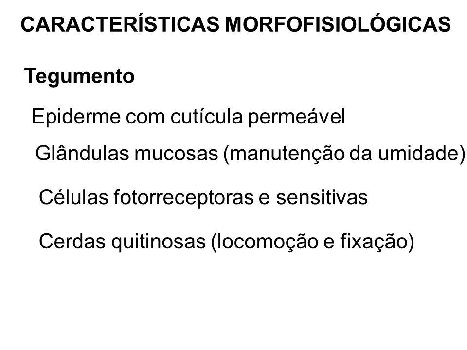 CARACTERÍSTICAS MORFOFISIOLÓGICAS Tegumento Epiderme com cutícula permeável Glândulas mucosas (manutenção da umidade) Células fotorreceptoras e sensit
