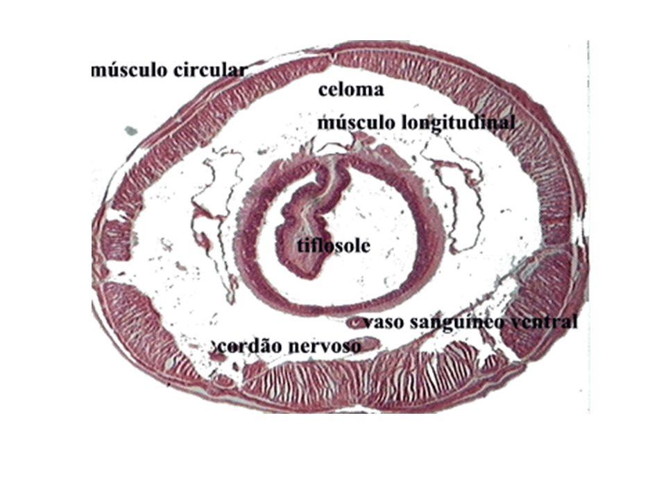 Sistema Circulatório 1 os animais na escala evolutiva com sistema circulatório Tipo fechado (sangue circula no interior de vasos) 2 vasos principais (dorsal e ventral) ligados por 5 pares de vasos laterais contráteis (corações) Sangue com hemoglobina dissolvida no plasma