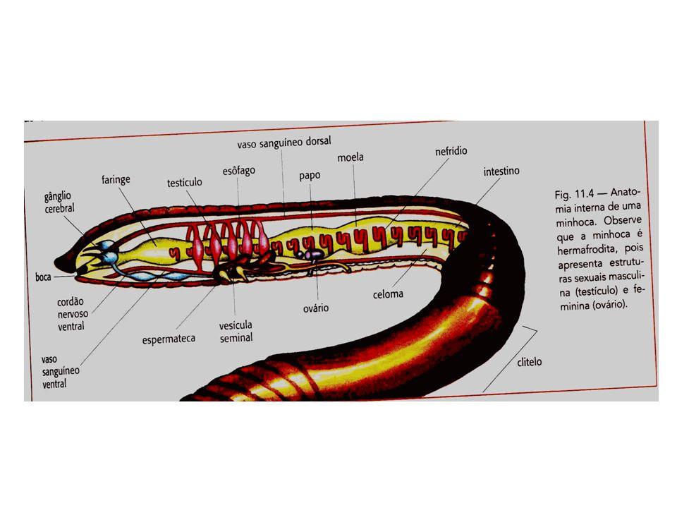 Classificação (quantidade de cerdas) Classe Polychaeta (muitas cerdas) Marinhos Dióicos Desenvolvimento indireto – larva trocófora Tentáculos na cabeça Parapódios (expansões laterais que contém as brânquias) Não possuem clitelo