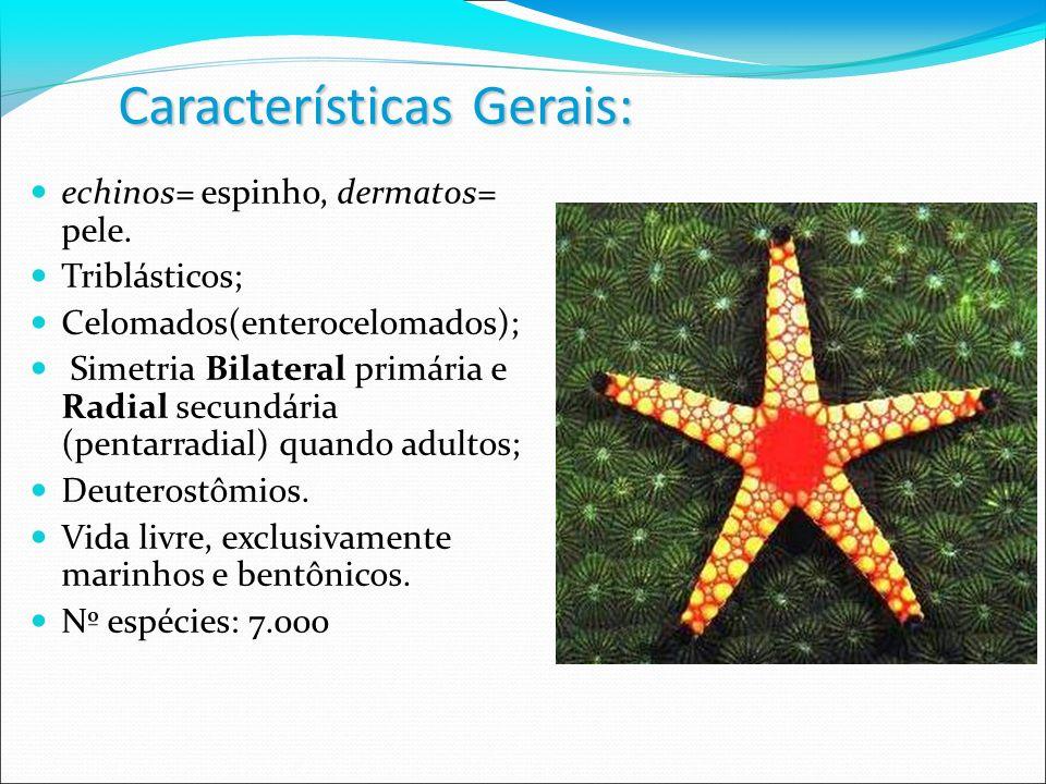 Características Gerais: echinos= espinho, dermatos= pele. Triblásticos; Celomados(enterocelomados); Simetria Bilateral primária e Radial secundária (p
