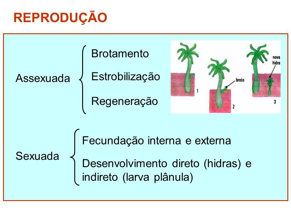 Assexuada REPRODUÇÃO Estrobilização Regeneração Fecundação interna e externa Desenvolvimento direto (hidras) e indireto (larva plânula) Sexuada Brotam