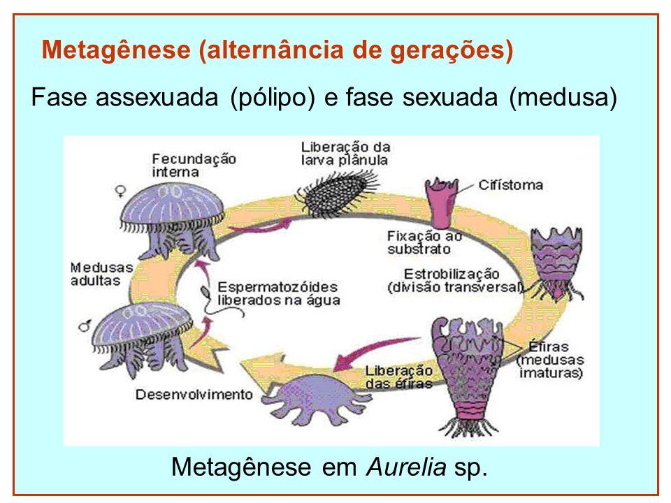 Metagênese (alternância de gerações) Fase assexuada (pólipo) e fase sexuada (medusa) Metagênese em Aurelia sp.