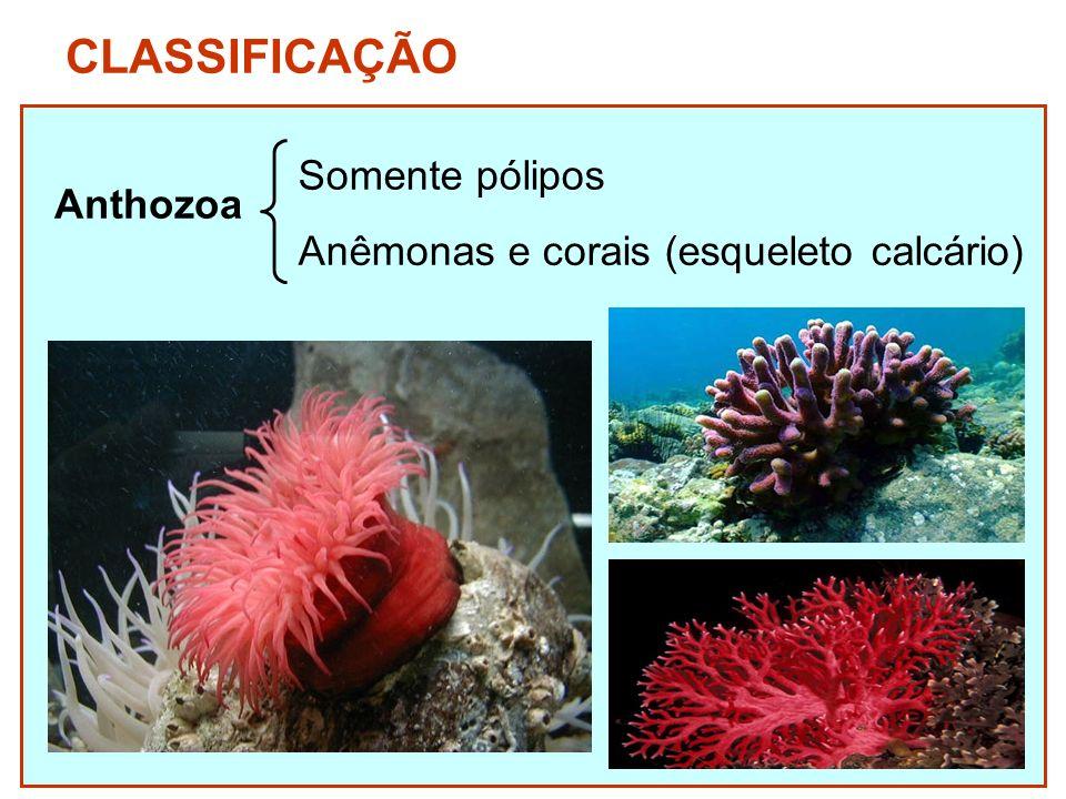 CLASSIFICAÇÃO Anthozoa Somente pólipos Anêmonas e corais (esqueleto calcário)