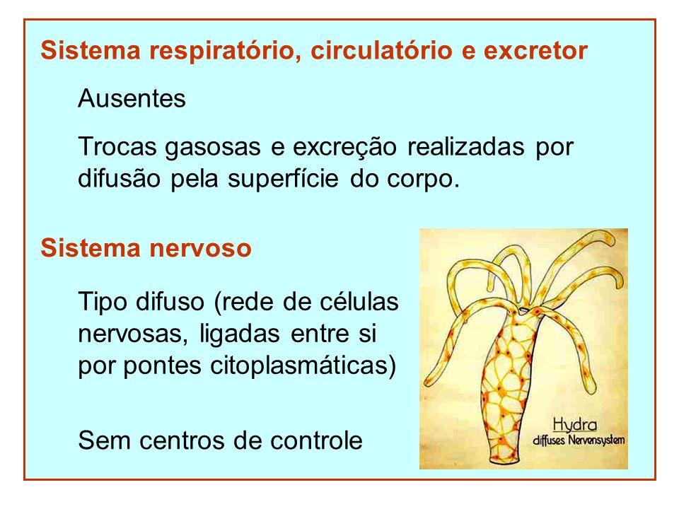 Sistema respiratório, circulatório e excretor Ausentes Trocas gasosas e excreção realizadas por difusão pela superfície do corpo. Sistema nervoso Sem