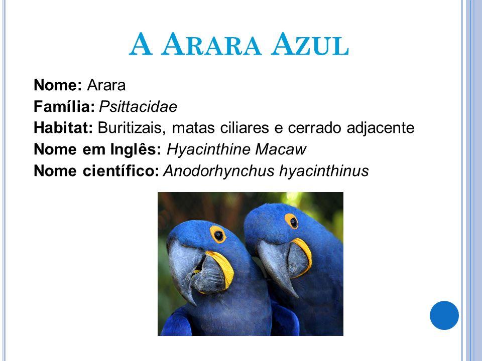 A A RARA A ZUL Nome: Arara Família: Psittacidae Habitat: Buritizais, matas ciliares e cerrado adjacente Nome em Inglês: Hyacinthine Macaw Nome científ