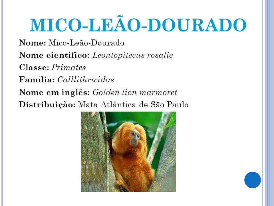 MICO-LEÃO-DOURADO Nome: Mico-Leão-Dourado Nome científico: Leontopitecus rosalie Classe: Primates Família: Calllithricidae Nome em inglês: Golden lion