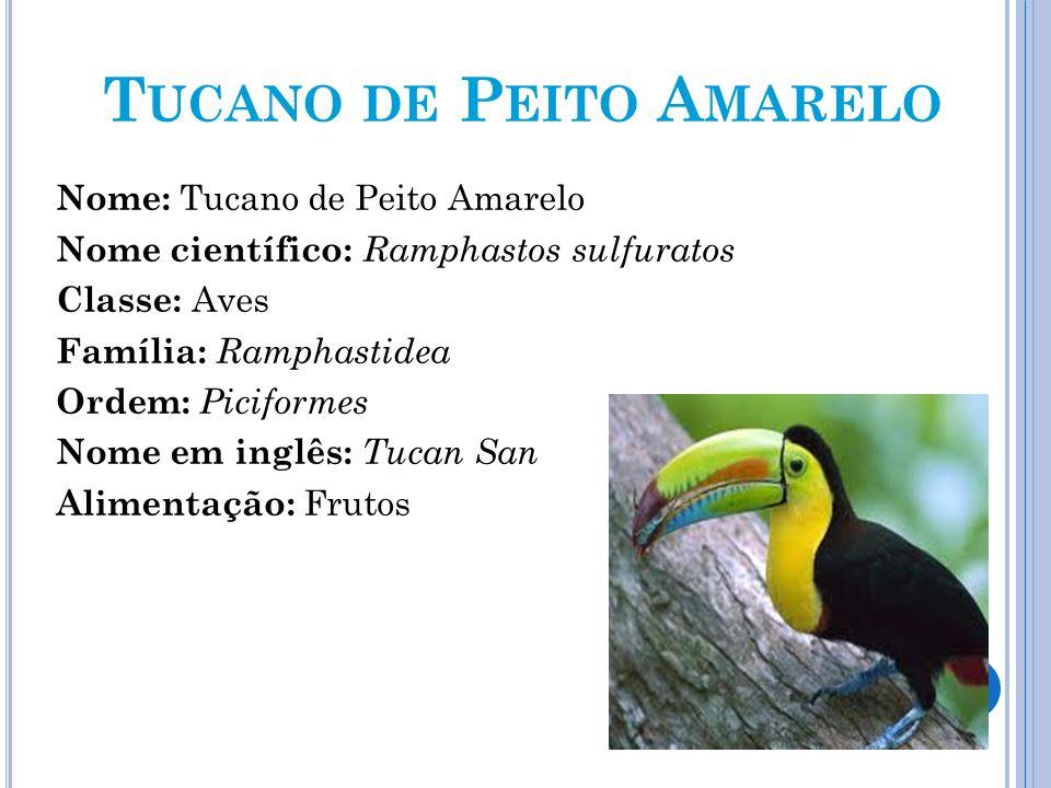 T UCANO DE P EITO A MARELO Nome: Tucano de Peito Amarelo Nome científico: Ramphastos sulfuratos Classe: Aves Família: Ramphastidea Ordem: Piciformes N
