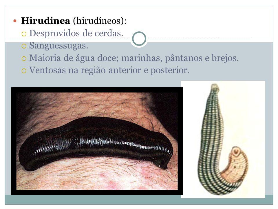 Hirudinea (hirudíneos): Desprovidos de cerdas. Sanguessugas. Maioria de água doce; marinhas, pântanos e brejos. Ventosas na região anterior e posterio