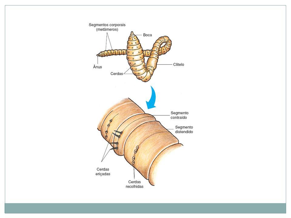 Estrutura e Fisiologia: Sistema Digestivo Completo: Intestino com regiões diferenciadas: faringe, papo, moela,etc.