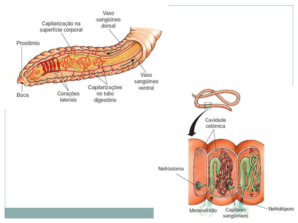 Classificação: Polychaeta (poliquetas): polys= muito; chaite= pêlo, cerda.
