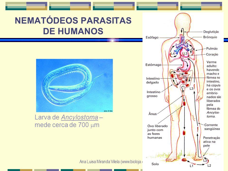 Ana Luisa Miranda Vilela (www.bioloja.com) NEMATÓDEOS PARASITAS DE HUMANOS Larva de Ancylostoma – mede cerca de 700 m