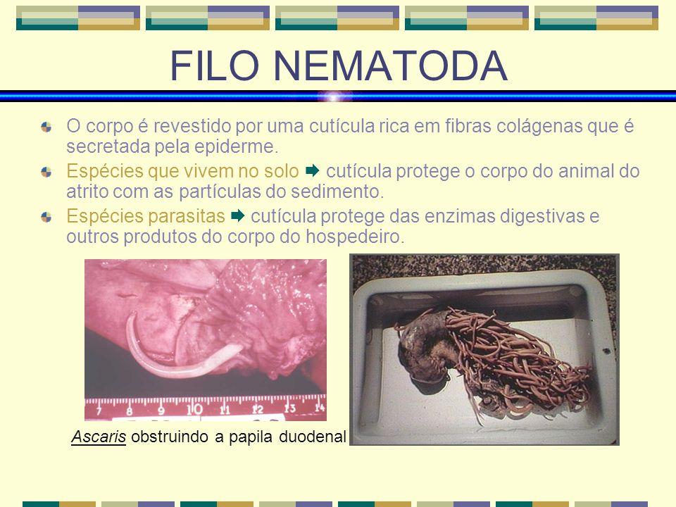 FILO NEMATODA O corpo é revestido por uma cutícula rica em fibras colágenas que é secretada pela epiderme. Espécies que vivem no solo cutícula protege
