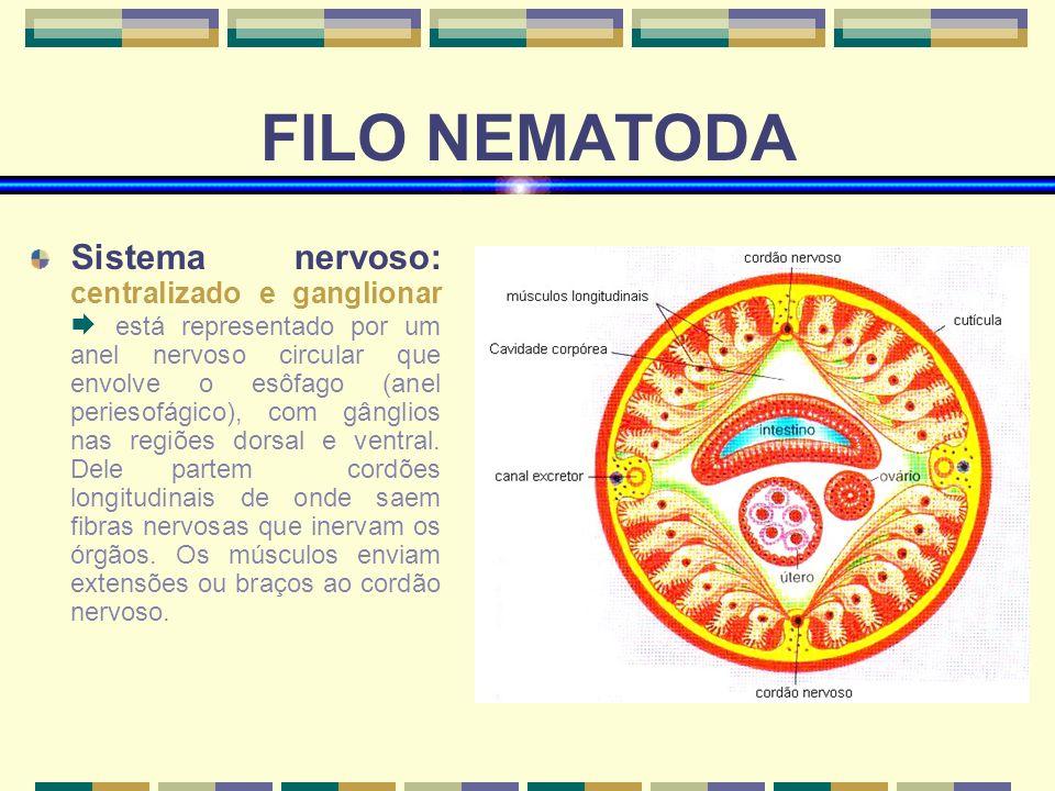 FILO NEMATODA Sistema nervoso: centralizado e ganglionar está representado por um anel nervoso circular que envolve o esôfago (anel periesofágico), co