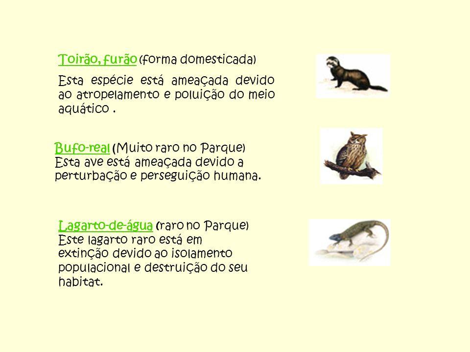 Toirão, furão (forma domesticada) Esta espécie está ameaçada devido ao atropelamento e poluição do meio aquático. Bufo-real ( Muito raro no Parque) Es