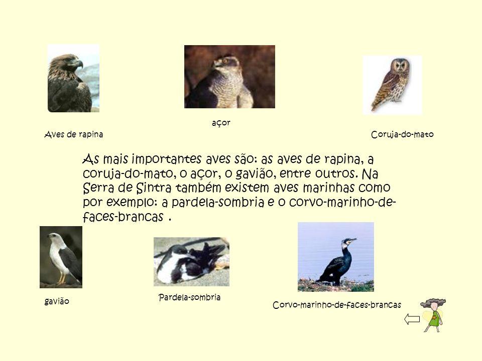 As mais importantes aves são: as aves de rapina, a coruja-do-mato, o açor, o gavião, entre outros. Na Serra de Sintra também existem aves marinhas com