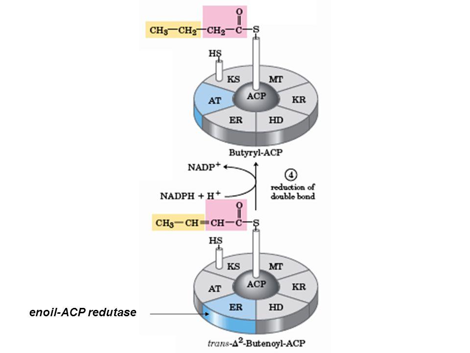 enoil-ACP redutase