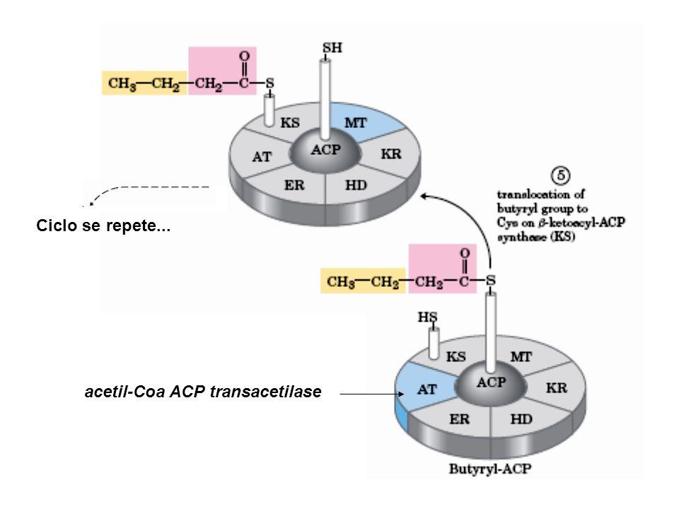 acetil-Coa ACP transacetilase Ciclo se repete...