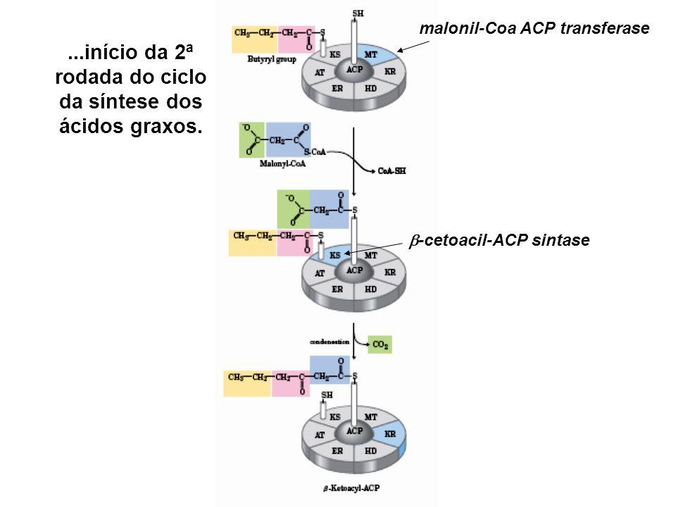 ...início da 2ª rodada do ciclo da síntese dos ácidos graxos.