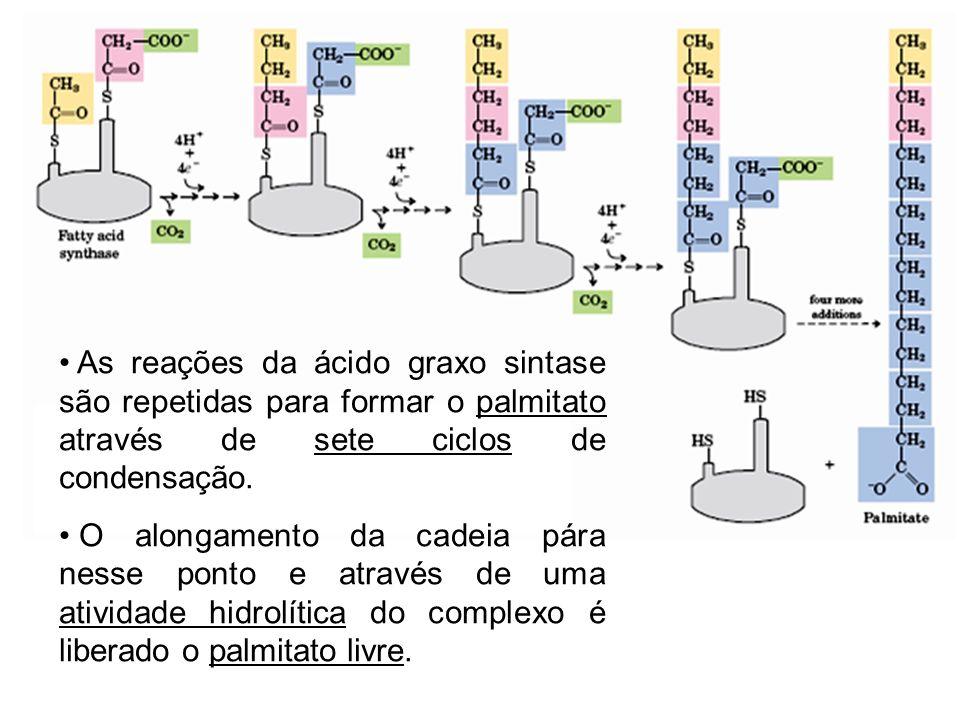 As reações da ácido graxo sintase são repetidas para formar o palmitato através de sete ciclos de condensação.