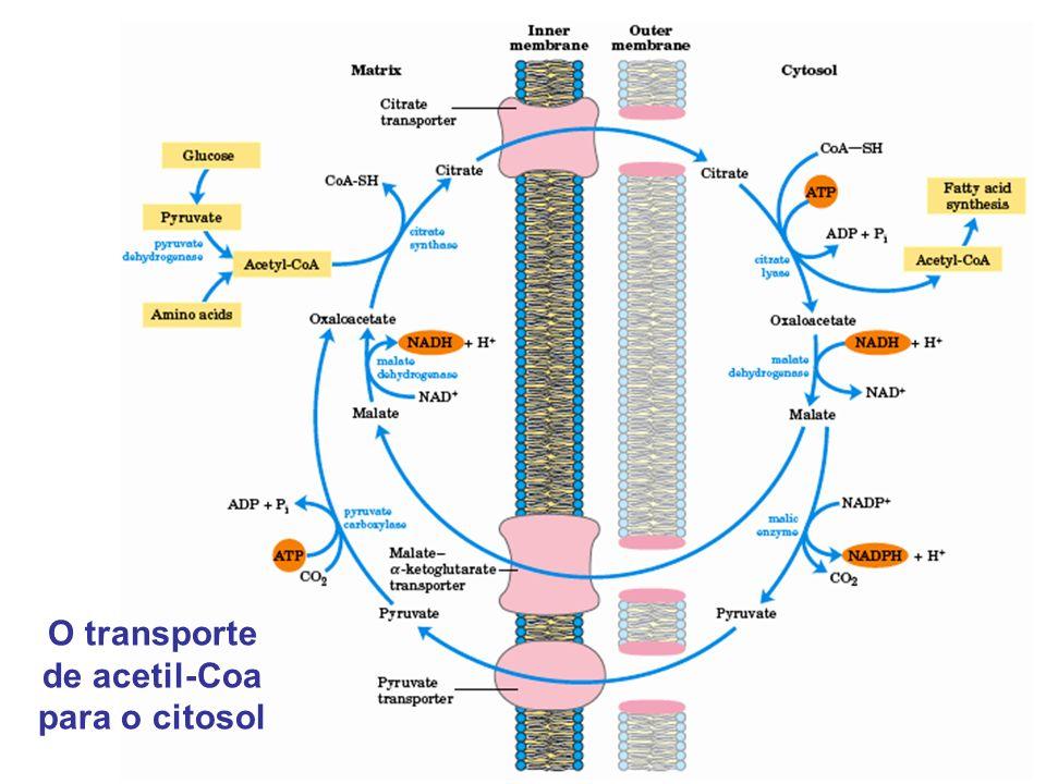 O transporte de acetil-Coa para o citosol