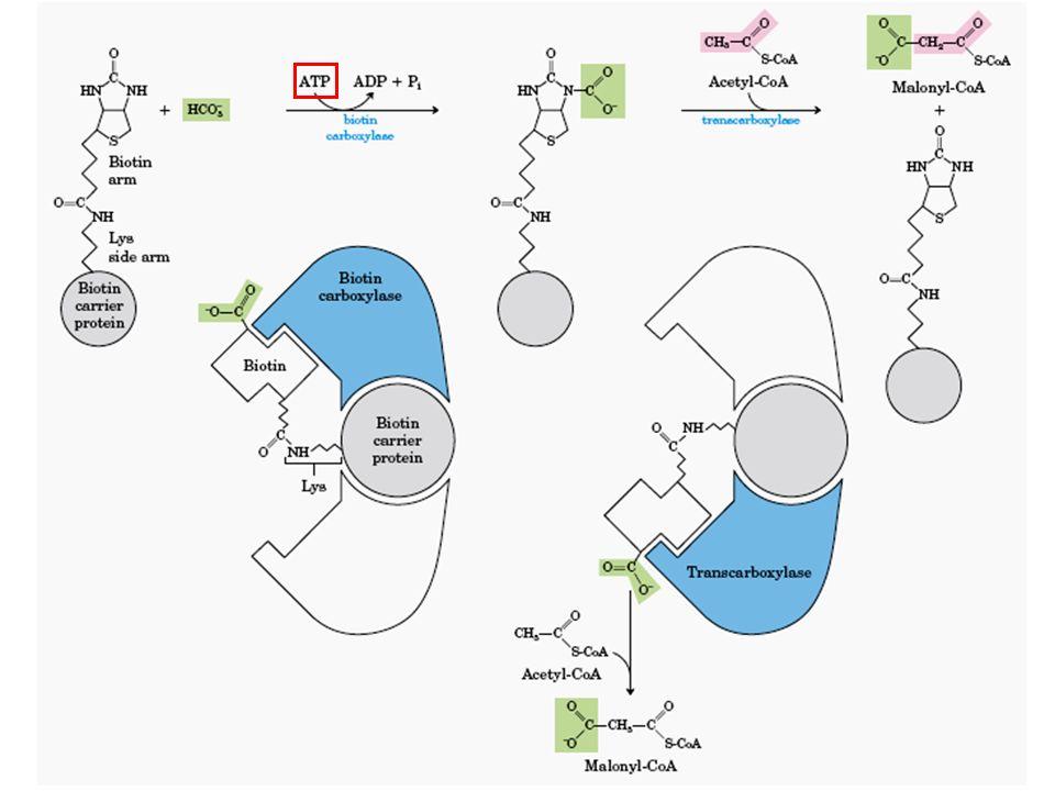 O Complexo da Sintase dos Ácidos Graxos ACP (Proteína Transportadora de grupos acil)