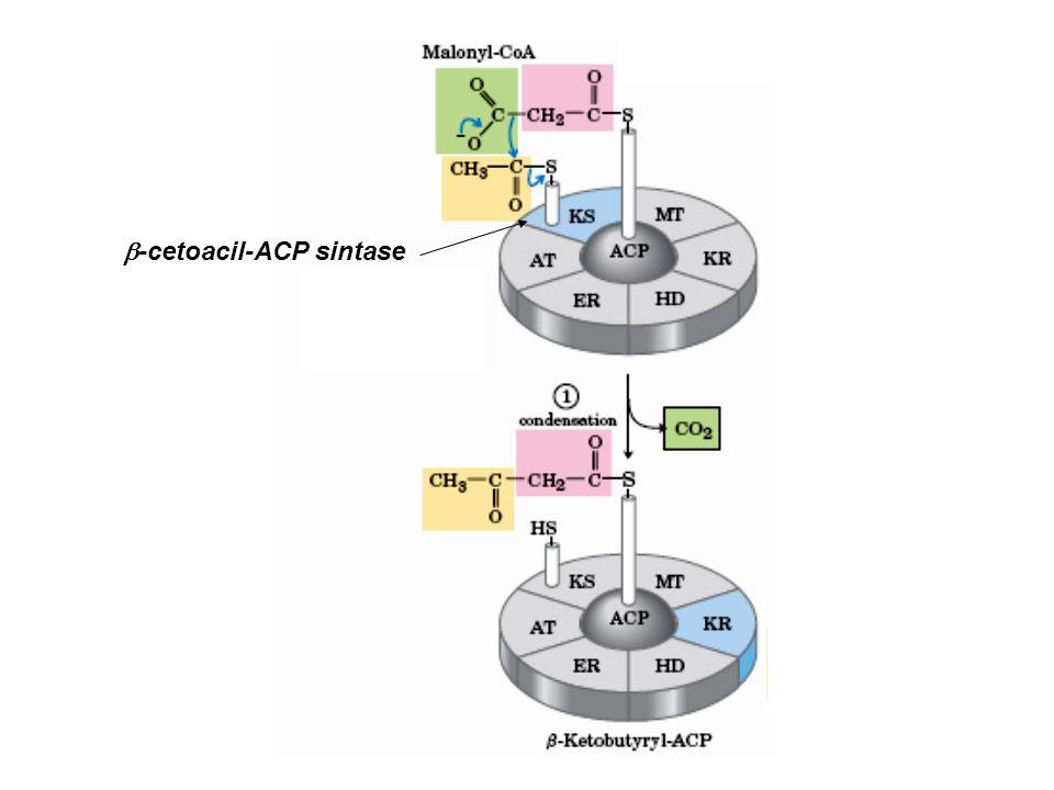  -cetoacil-ACP sintase