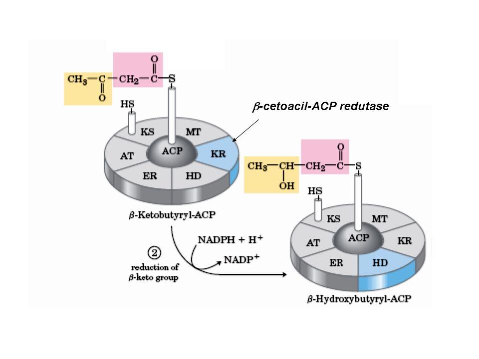 As Reações do Complexo da Ácido Graxo Sintase Passo 3:Passo 3: desidratação –Os elementos da água são removidos de C-2 e C-3 do D-  -hidroxibutiril-ACP para liberar uma dupla ligação no produto, trans-  2 - butenoil-ACP.