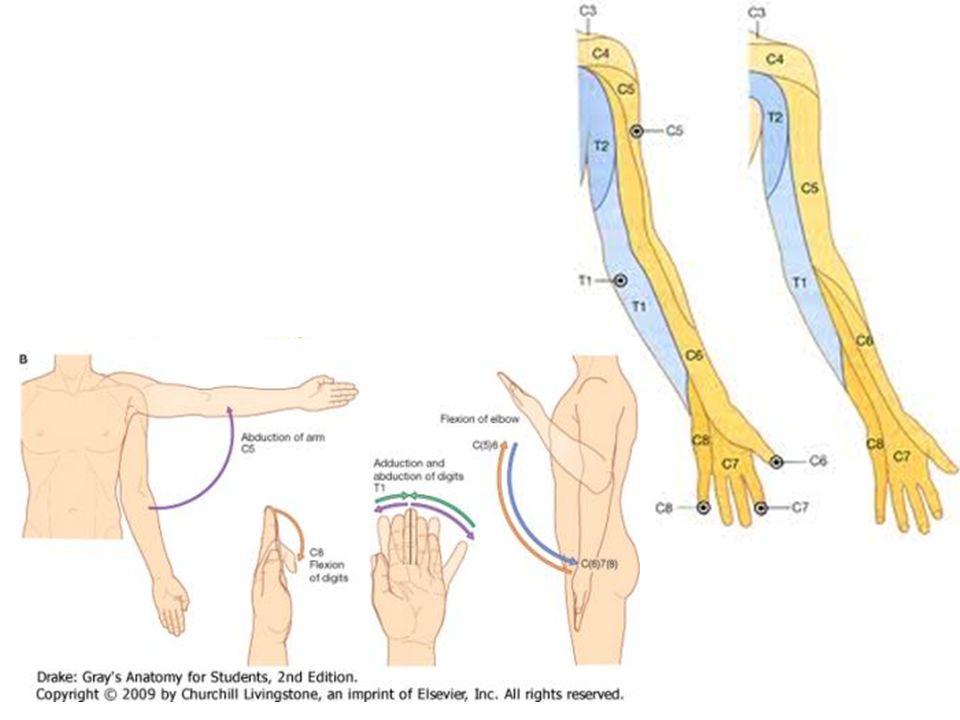 Grays anatomie bs