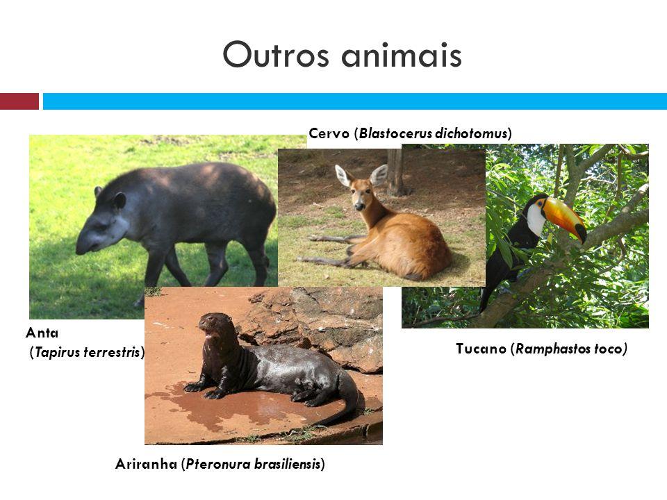Resultado de imagem para Amazônia anta ( Tapirus terrestris )