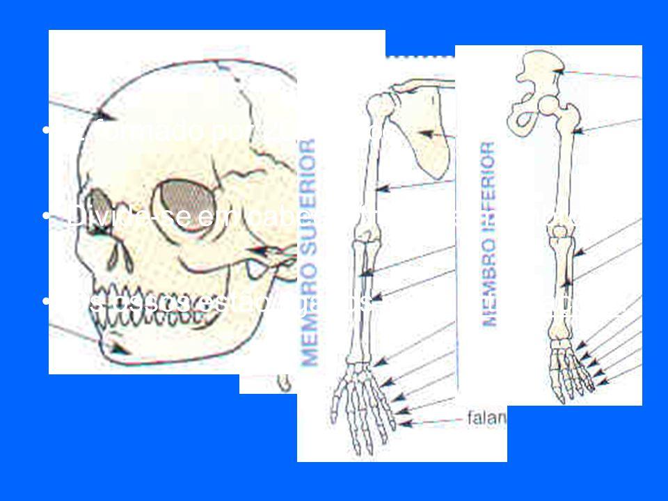 O esqueleto É formado por 206 ossos. Divide-se em cabeça, tronco e membros. Os ossos estão ligados pelas articulações.