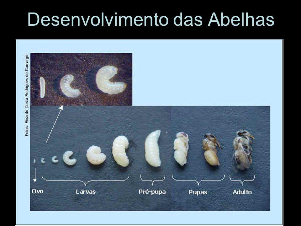 Desenvolvimento das Abelhas