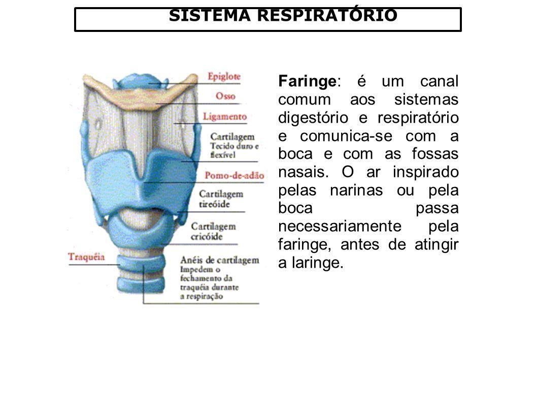SISTEMA RESPIRATÓRIO Os PULMÕES, junto com o DIAFRÀGMA são os principais órgãos da respiração.