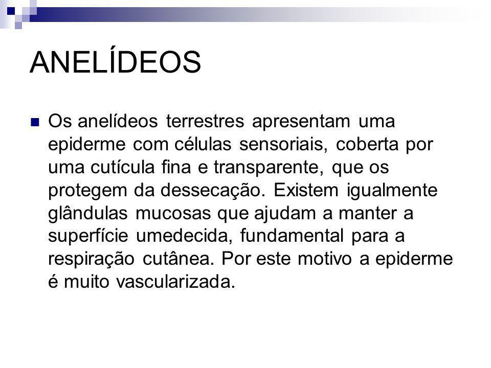 ANELÍDEOS Os anelídeos terrestres apresentam uma epiderme com células sensoriais, coberta por uma cutícula fina e transparente, que os protegem da des