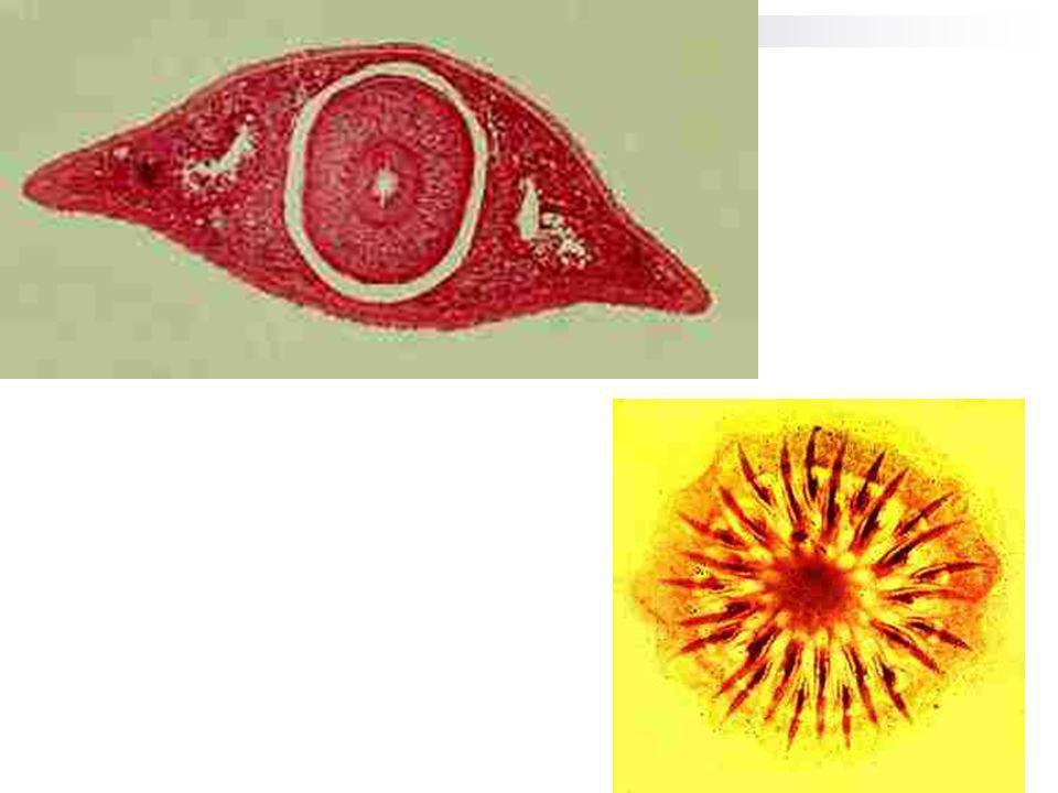 NEMATELMINTES A epiderme tem uma estrutura peculiar sinsícial, dado que as células não apresentam paredes celulares e é revestida por uma cutícula quitinosa resistente, lisa e elástica, com pequenas estrias.