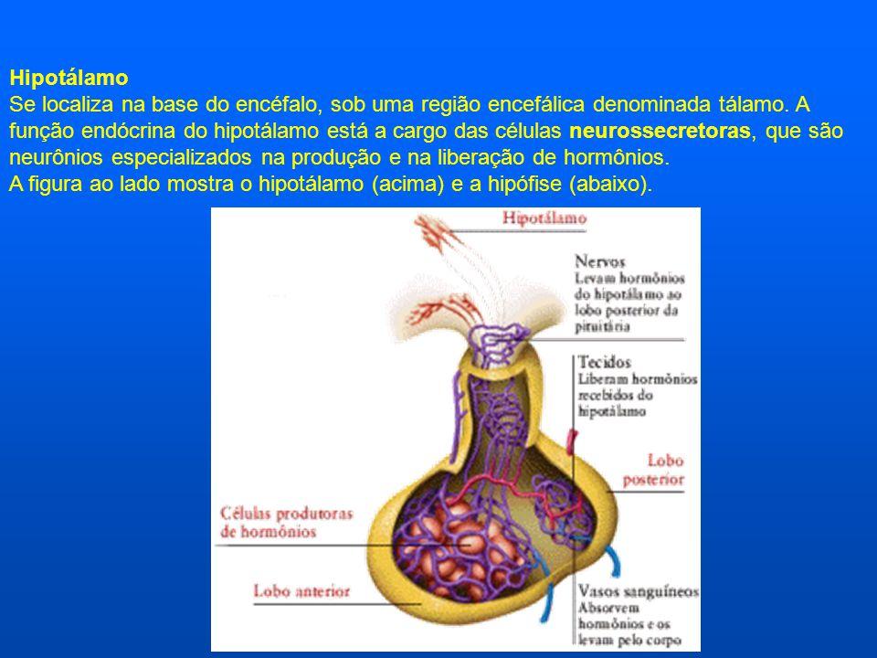 Hipotálamo Se localiza na base do encéfalo, sob uma região encefálica denominada tálamo. A função endócrina do hipotálamo está a cargo das células neu