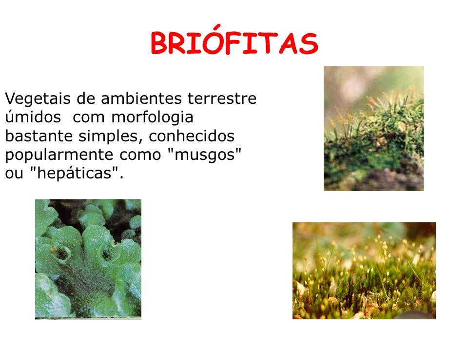 BRIÓFITAS Vegetais de ambientes terrestre úmidos com morfologia bastante simples, conhecidos popularmente como