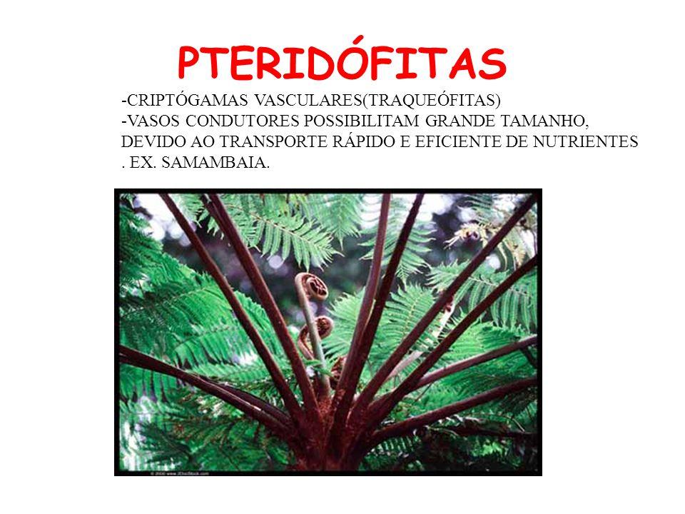 PTERIDÓFITAS -CRIPTÓGAMAS VASCULARES(TRAQUEÓFITAS) -VASOS CONDUTORES POSSIBILITAM GRANDE TAMANHO, DEVIDO AO TRANSPORTE RÁPIDO E EFICIENTE DE NUTRIENTE
