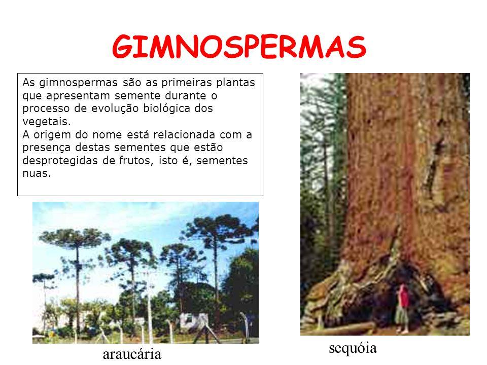 GIMNOSPERMAS As gimnospermas são as primeiras plantas que apresentam semente durante o processo de evolução biológica dos vegetais. A origem do nome e
