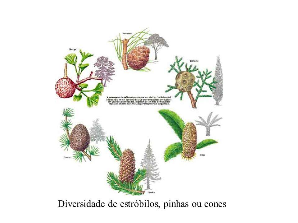 Diversidade de estróbilos, pinhas ou cones