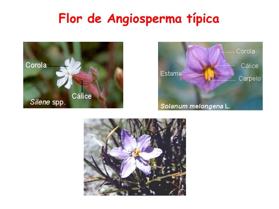 Flor de Angiosperma típica